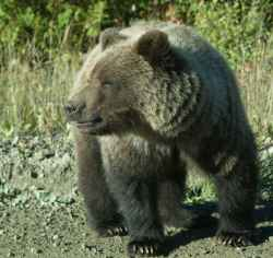 Close up Grizzly