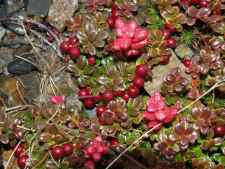 Low bush Cranberries